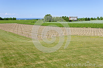 Young Grape Vines in a Vineyard #4
