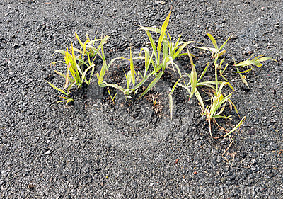 Young grass shoots through tarmac, asphalt