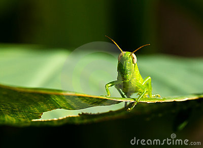 Young Grasshopper II
