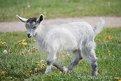 Young gray goat