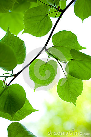 Free Young Green Leaves Stock Images - 24717974