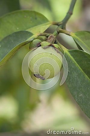 Young green mangosteen.