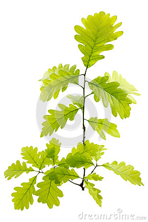 Free Young Green Oak Leaves Stock Image - 31182291