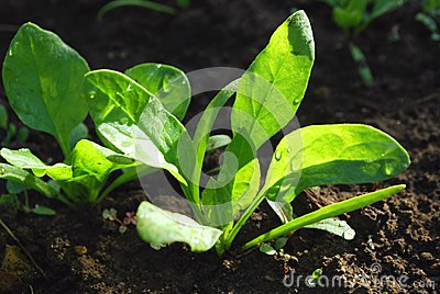 Young green shoots of lettuce