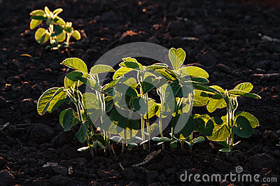 Young green soybean plants in evening light