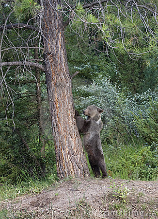 Young grizzly standing by tree