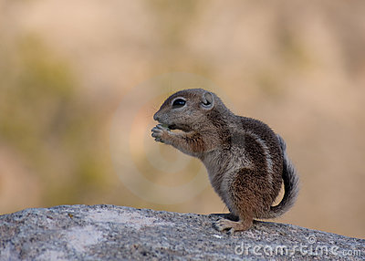 Young ground squirrel
