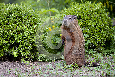 A young groundhog pup