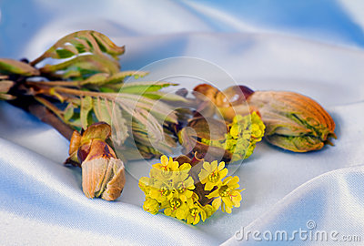 Young growing leaves on a chestnut branch. Stock Photo