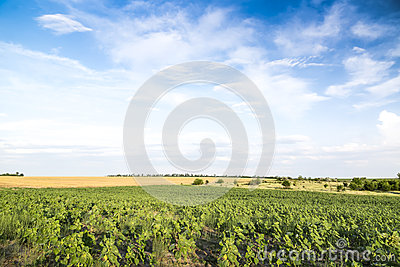 Young growth of sunflower. Green wide field. Stock Photo