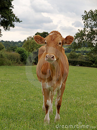Young Guernsey Cow