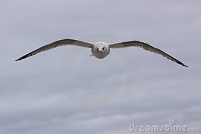 Young Gull Soaring Head-On