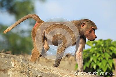 Young hamadryas baboon