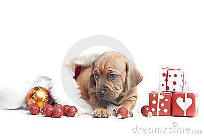 Young happy christmass doggy