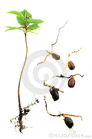 Young hazelnut tree and roots
