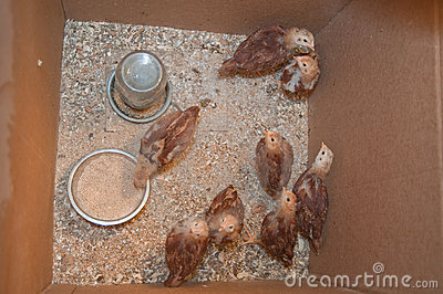 Young hens in a box