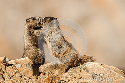Young Hoary Marmots