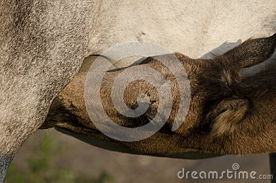 Young horse feeding