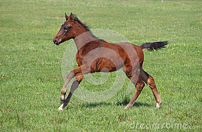 A young  horse galloping