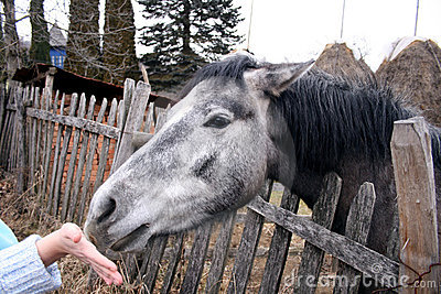 Young horse sniffing