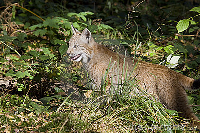 Young hunting lynx