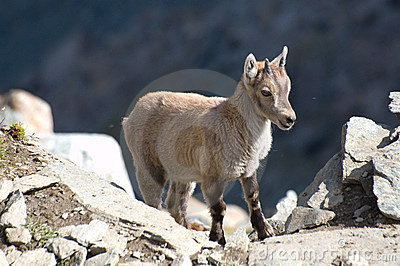 Young ibex on rocks