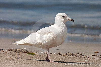Young Iceland Gull (Larus glaucoides)