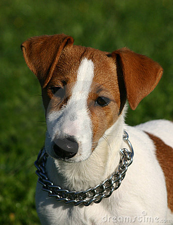 Free Young Jack Russel Stock Photos - 1826793