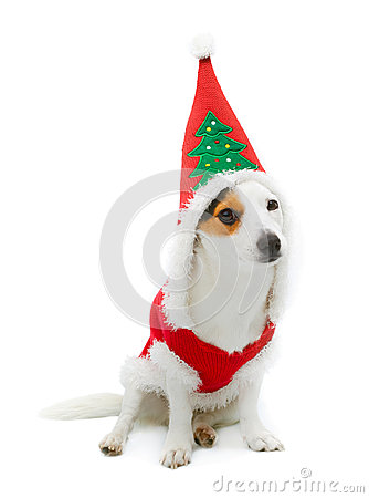 Free Young Jack Russel  Wearing Santa Claus Dress Royalty Free Stock Photo - 35188845