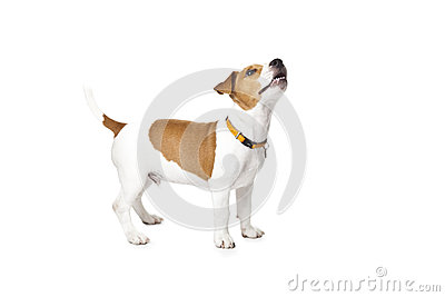 Young Jack Russell Dog