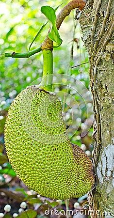 The young Jackfruit.