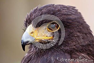 Young juvenile eagle in closeup
