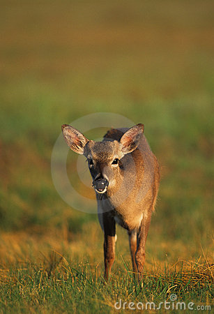 Young Key Deer