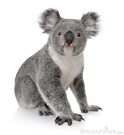 Free Young Koala, Phascolarctos Cinereus, 14 Months Old Stock Images - 13665394