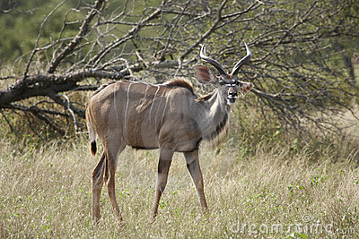Young Kudu bull in bushveld
