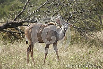 Young Kudu bull in bushveld