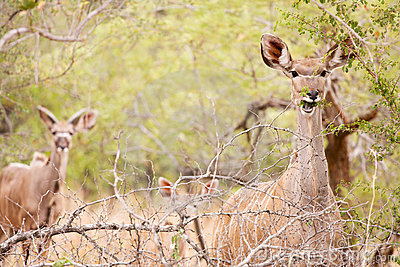 Young Kudu grazing in the wild