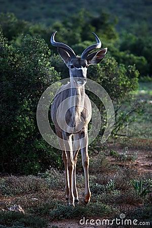 Free Young Kudu Male Stock Image - 9093881