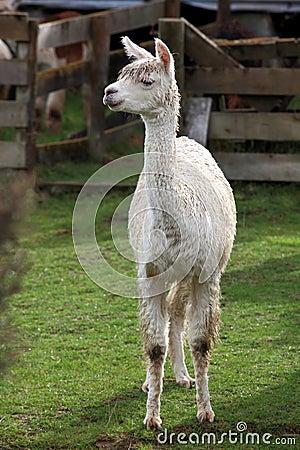 Young lama in farm