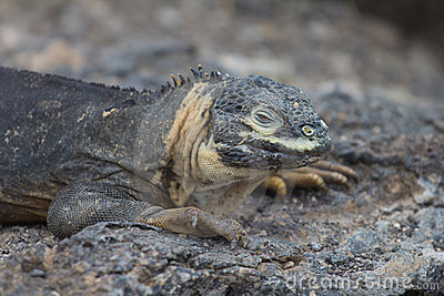 Young Land Iguana