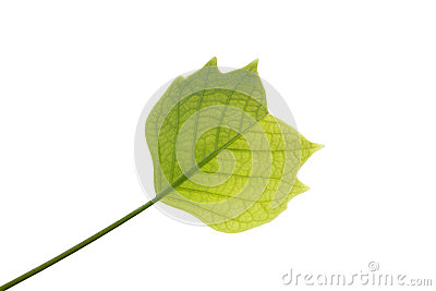 Young leaf of tulip tree on white background