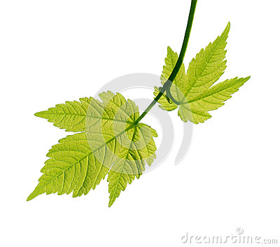 Young leaves of a maple on white background