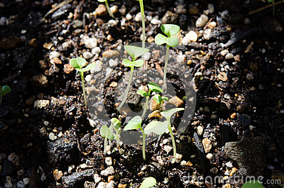 Young leaves seedling has just came out