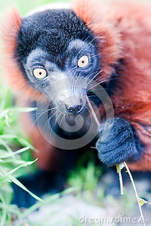 Young lemur eats the grass.