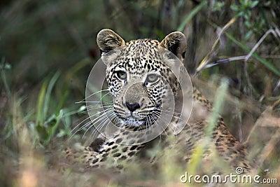 Young Leopard cub - Botswana
