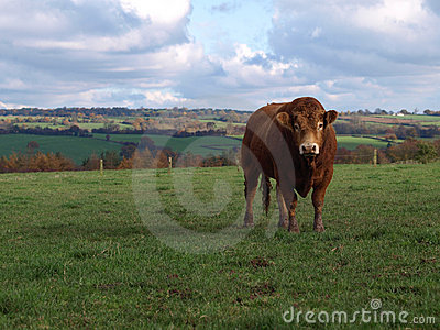 A Young Limousin Beef Bull