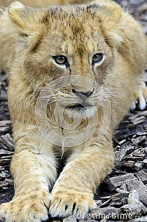 Young lion cub portrait