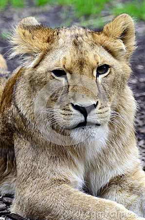 Young lion cub portrait