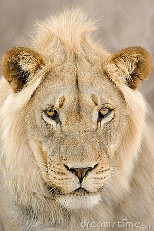 Free Young Lion Male Stock Photos - 15549103