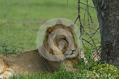 Young lion in the shade